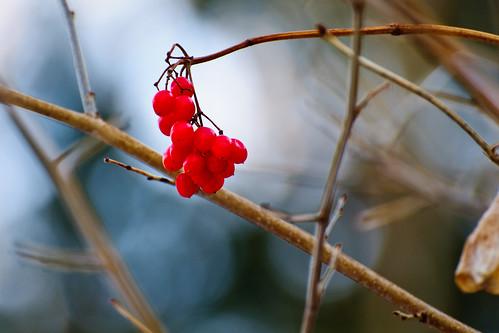 Winter berries #1