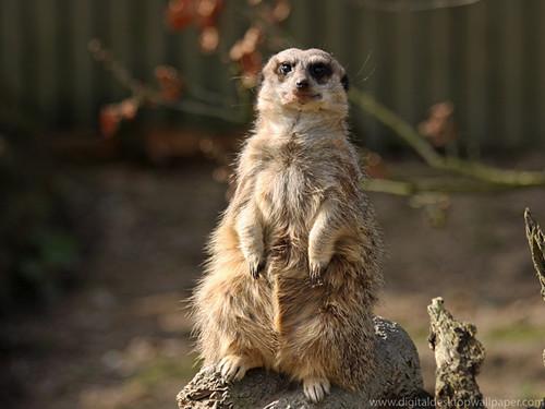 Cute animal, Cute Meerkat on Watch Duty