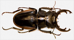 scarabs, animal, brown, invertebrate, insect, beetle,