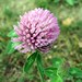 Red Clover - Photo (c) beautifulcataya, some rights reserved (CC BY-NC-ND)