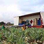 Ucpt l gumes et horticulture en bretagne - Planter des choux fleurs ...