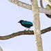 San Blas Jay - Photo (c) Dominic Sherony, some rights reserved (CC BY-SA)