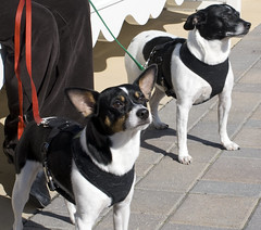 street dog(0.0), boston terrier(0.0), animal shelter(0.0), dog breed(1.0), animal(1.0), danish swedish farmdog(1.0), dog(1.0), brazilian terrier(1.0), pet(1.0), mammal(1.0), miniature fox terrier(1.0), toy fox terrier(1.0), rat terrier(1.0), russell terrier(1.0), terrier(1.0),