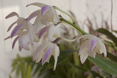 flower, macro photography, laelia, flora, close-up, petal,