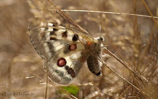 Parnassius apollo - Un mito volante