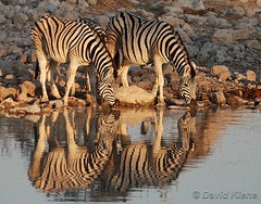Three Plains Zebras, Okaukuejo Waterhole, Etosha National Park, Namibia
