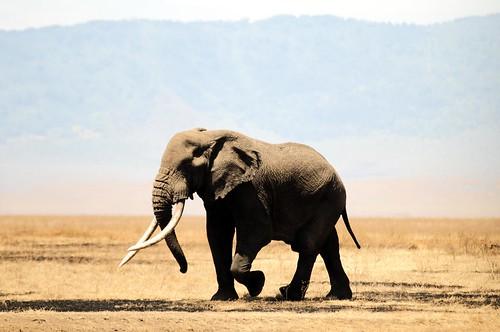 無料写真素材, 動物 , 哺乳類, 象・ゾウ