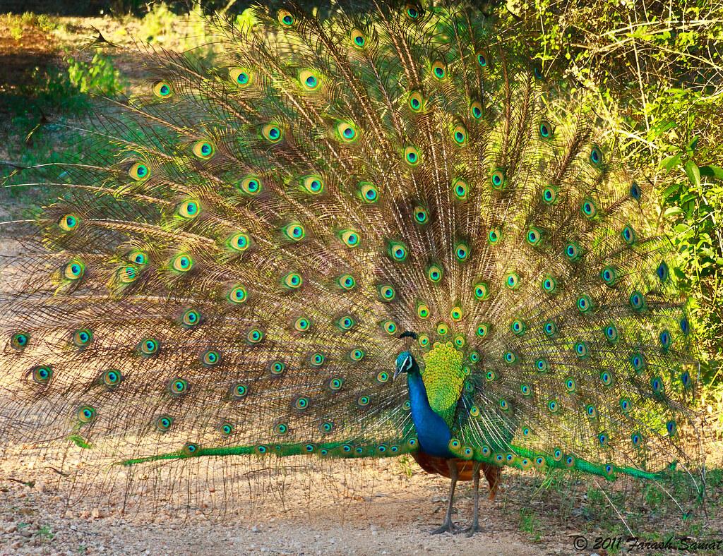 Peacock මොණරා