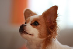dog breed, chihuahua, animal, dog, pet, mammal, phalã¨ne, close-up, papillon,