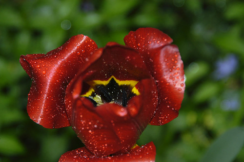 Tulip with Raindrops, Annapolis 53031