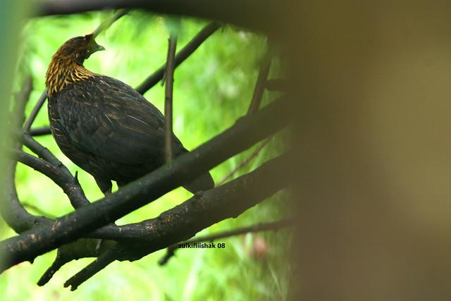 Ayam hutan betina