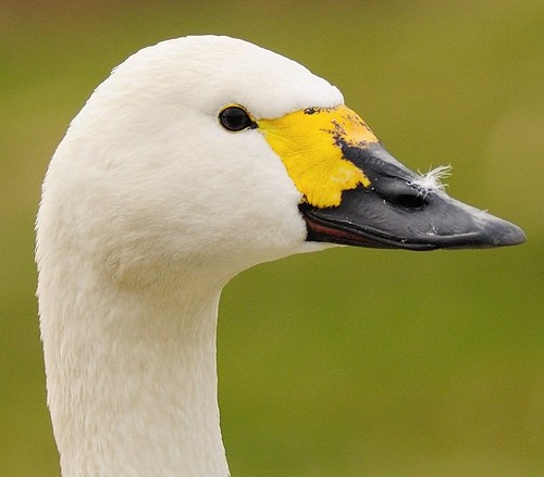 Profile Of Bewick Swan