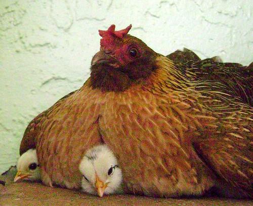 La mamá de los pollitos