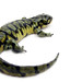 Western Tiger Salamander - Photo (c) Matt Reinbold, some rights reserved (CC BY-SA)