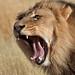 Yawning Kgalagadi Lion IMG_4743 by WildImages