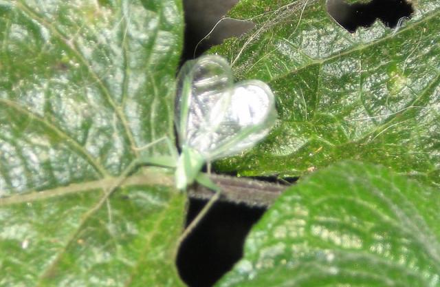 Tree cricket flickr photo sharing