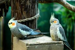 lovebird(0.0), cockatoo(1.0), animal(1.0), parrot(1.0), wing(1.0), pet(1.0), fauna(1.0), cockatiel(1.0), beak(1.0), bird(1.0), wildlife(1.0),