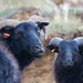 Small photo of Black Sheep