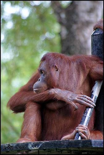 Orang Utan (Pongo pygmaeus)