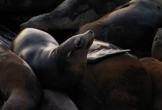 Sea Lion Series Pier 39 SF