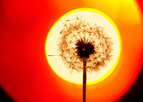 sunset red usa sun plant abstract flower macro yellow closeup oregon sunrise circle bright background dandelion disk round backdrop 蒲公英 美国 俄勒冈州 chinaphotoworkshop