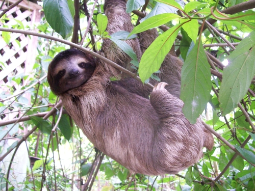 sloth-hanging-out