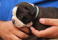 dog breed, animal, puppy, dog, old english bulldog, british bulldogs, pet, olde english bulldogge, mammal, toy bulldog, bulldog,