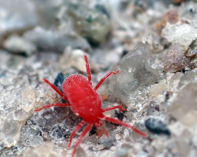 Red Spider Mites On Concrete Red Spider Mite...