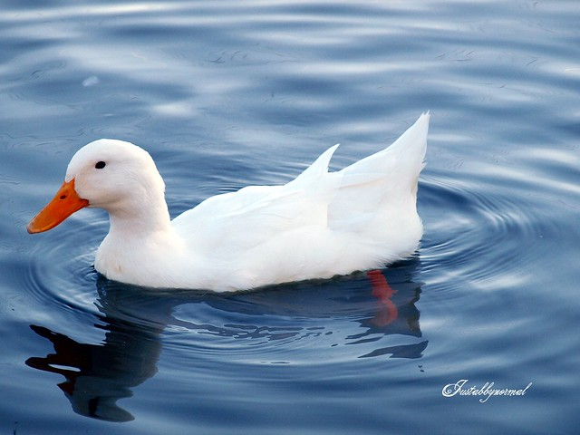 The beauty of the white duck - a gallery on Flickr