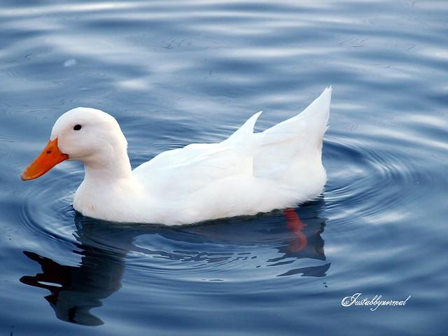 ducks swimming on the - photo #40