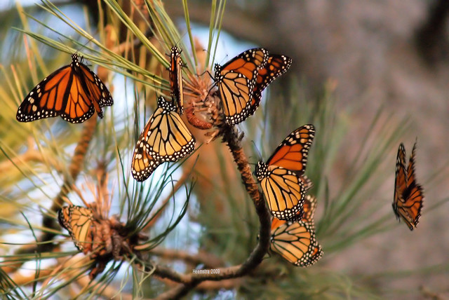 a cluster of monarch butterflies on a tree