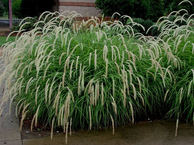 Tall tales grass flickr photo sharing for Tall ornamental grasses for screening