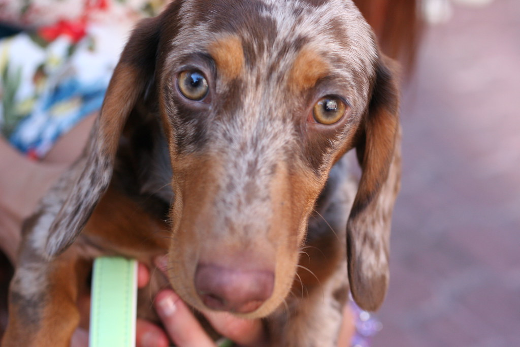 "Wiener Dog  ""Downtown Bend for Oktoberfest"""