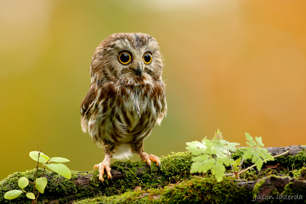 Picture of the Day: The Miniature Northern Saw-whet Owl
