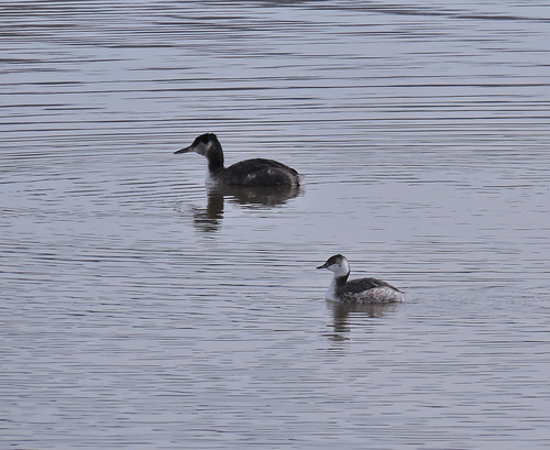 Red-necked and Horned Grebe comparison