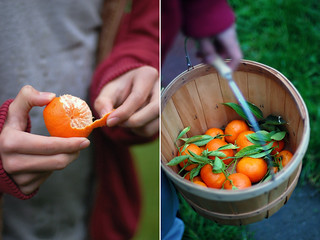 picking mandarins~