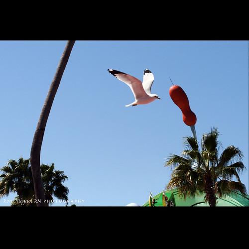 canon orlando florida seagull kamote canoneos400d canonrebelxti kamoteus2003 kamoteus ronmiguelrn