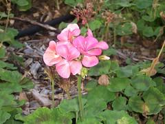 annual plant, geranium, flower, leaf, plant, wildflower, flora, petal,