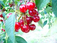 shrub(0.0), acerola(0.0), flower(0.0), crataegus pinnatifida(0.0), schisandra(0.0), rose hip(0.0), zante currant(0.0), cherry(1.0), berry(1.0), branch(1.0), plant(1.0), produce(1.0), fruit(1.0), food(1.0),