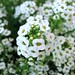 Brassicaceae 十字花科