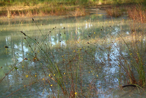 water fauna reflections pond flora charlesdarwin 1859 easternnorthcarolina undisclosedlocation endlessformsmostbeautiful originofspecies tangledbank pinesavanna