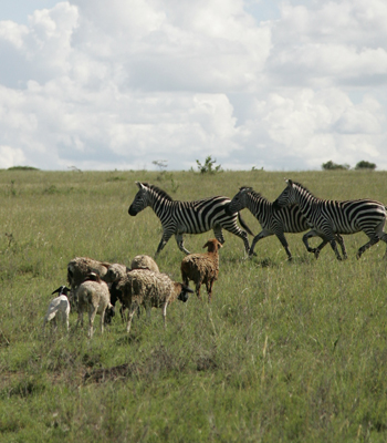 Wildlife and sheep in Kenya's Kitengela rangelands