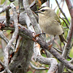 Golden-crowned Kinglet, Fire Island National Seashore