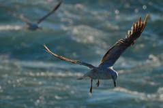 Gulls (Möwen)