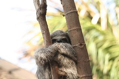 primate(0.0), new world monkey(0.0), ape(0.0), animal(1.0), three toed sloth(1.0), mammal(1.0), fauna(1.0), wildlife(1.0),