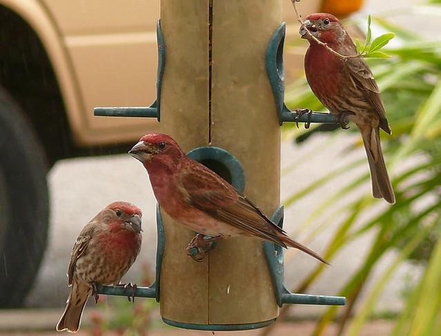 House Finch vs Purple Finch | Flickr - Photo Sharing!
