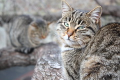 animal, tabby cat, small to medium-sized cats, pet, mammal, european shorthair, pixie-bob, fauna, close-up, cat, wild cat, whiskers, domestic short-haired cat,