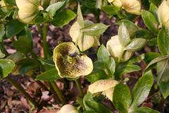 shrub, flower, plant, hellebore, wildflower, flora,