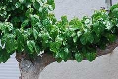shrub(0.0), vegetable(0.0), flower(0.0), plant(0.0), malabar spinach(0.0), produce(0.0), food(0.0), annual plant(1.0), leaf(1.0), herb(1.0), ivy(1.0),