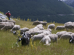 animal, mountain, sheeps, sheep, mammal, herd, grazing, fauna, goatherd, meadow, pasture, grassland,